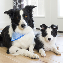 Small black and white Collie sits by larger Border Collie dog