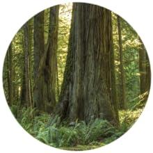 canadian hemlock wood, hemlock, hemlock wood, wood, infrared sauna