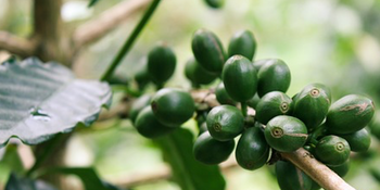Natürliche grüne Kaffeebohnen
