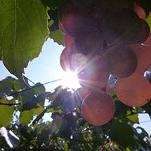 良いワインは良い葡萄から