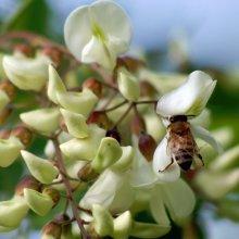 アカシア 有機ハチミツ