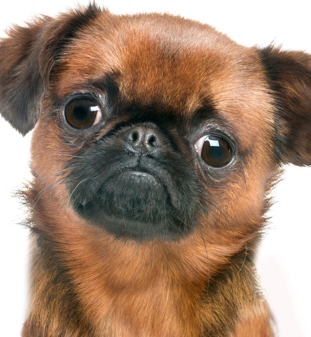 amazon com the blissful dog brussels griffon nose butter 0 50