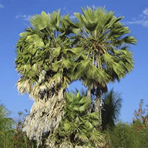 carnauba palm tree