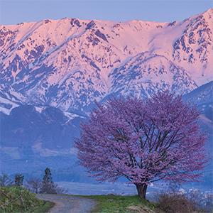 日本の一本桜