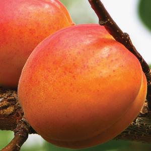 peaches, plums, cherries, nectarines, apricots, organic, nutrient-dense, holistic, biodynamic, trees