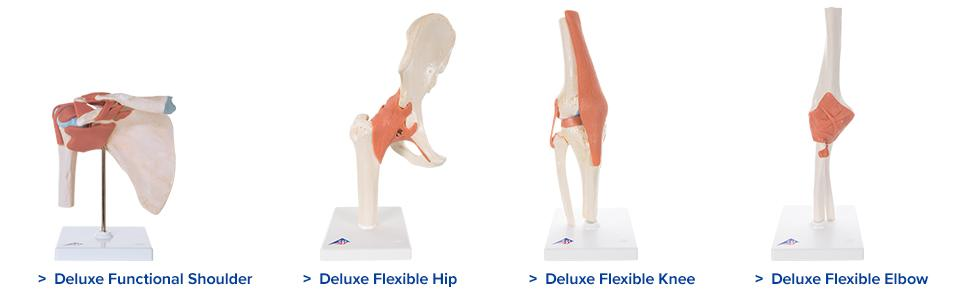 3b scientific a831 deluxe functional elbow joint model 13 height view larger ccuart Image collections
