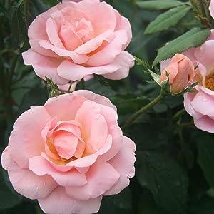 rose;flower;peach;