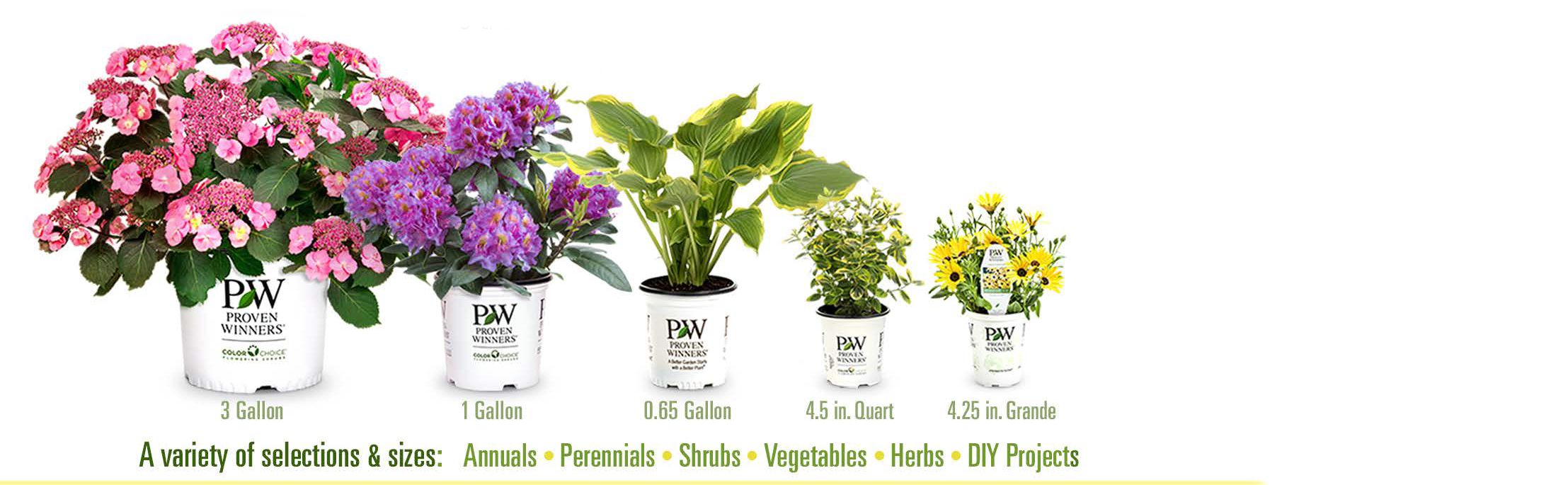 Amazoncom endless summer hydrangea plants