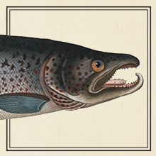 Salmon fish illustration that shows how EPIC salmon strips are made from 100% wild caught salmon
