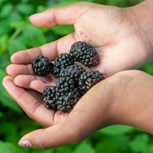 berries season hands project raspberries, blackberries, blueberries, elderberries grapes pick