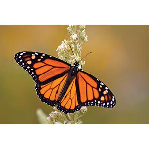 Monarch, Butterfly