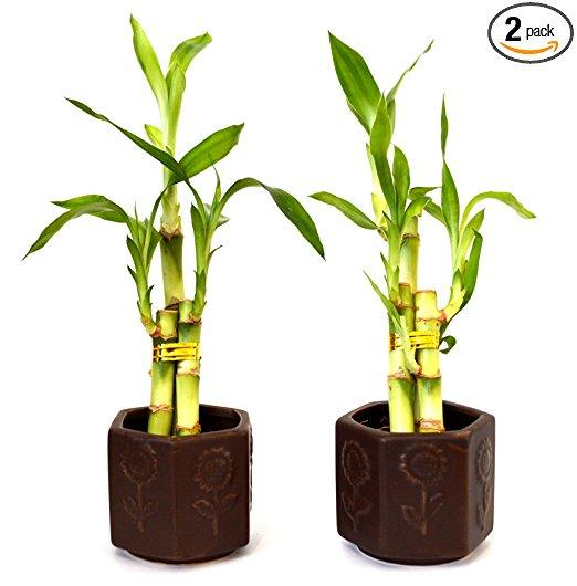 Amazon 9greenbox Lucky Bamboo Ceramic Vase 2 Set Live