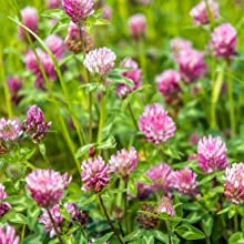 Isoflavones from Red Clover and Soy