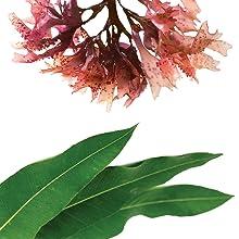 red algae and eucalyptus