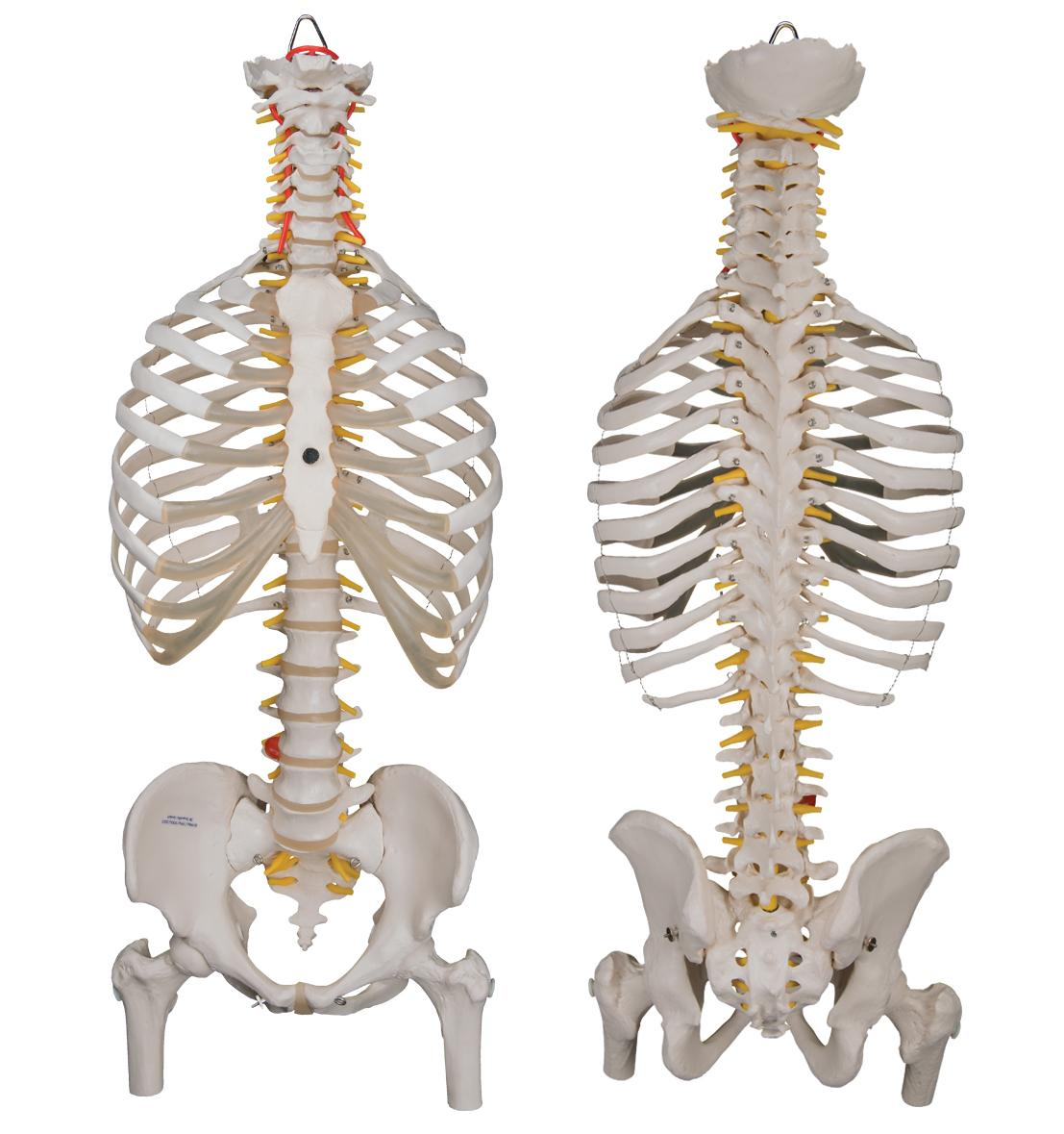 3b Scientific A562 Classic Flexible Spine Model With Ribs And Femur