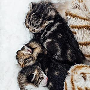 kittens with snuggle kitty
