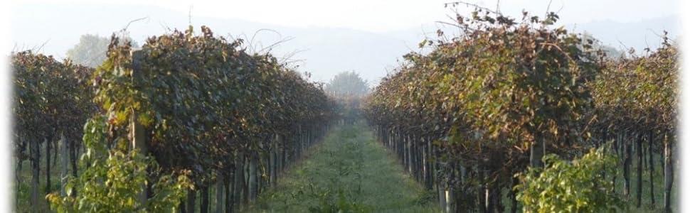 Vigneto; Vitigno; Materie Prime; Aceto Balsamico di Modena IGP; Uve; Balsamico di qualità; Naturale;