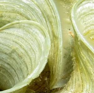 Contains Padina Pavonica, Chlorella, and Blue-Green Algae