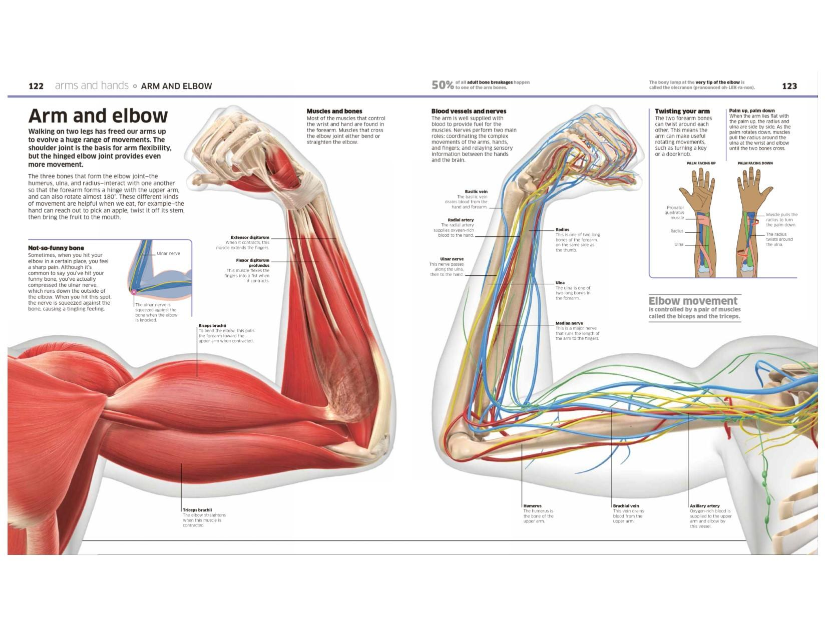 Human Body Knowledge Encyclopedias Dk 9781465462398 Chicken Wing Tendon Diagram Muscular System Systems View Larger