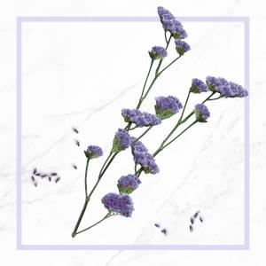 Fleur d'immortelle bleue bio