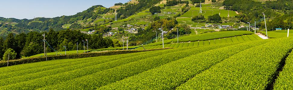 Japan Kakegawa Shizuoka green tea field farm