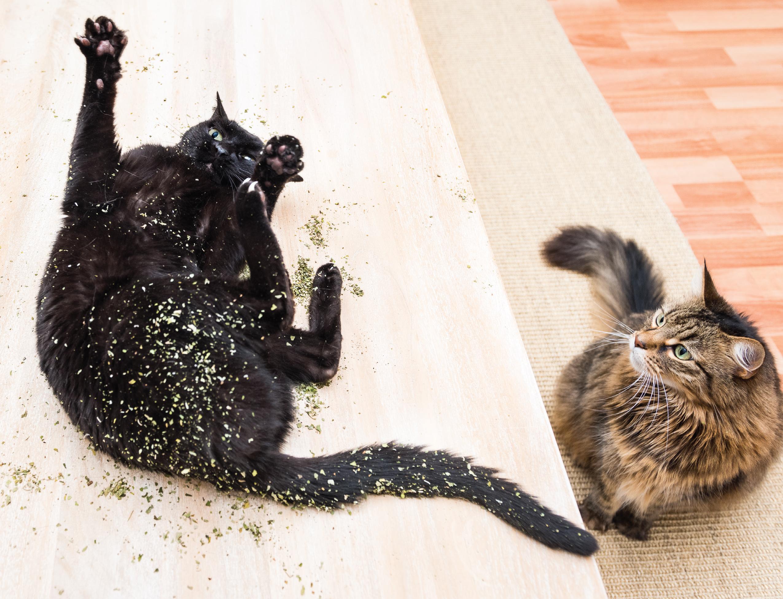Cat can Allergic To Catnip