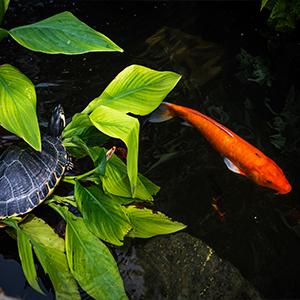 api turtle product pond koi