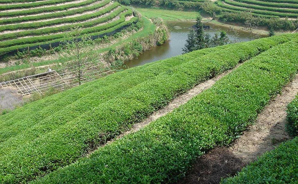 Chinese Tea Field