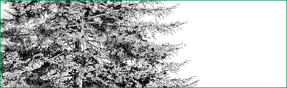 close up image of quill pen illustration of tree Abies cephalonica Loudon