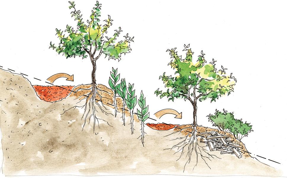 organic, soil, terracing, apples, peaches, pears, plums, cherries, elderberry, swale, mycorrhizal