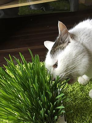 ネコ草 食べるネコ