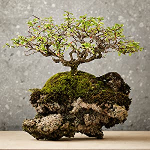 stocking stuffer;gifts for father;gifts for dad;gifts for mom;mother's day;father's day;bonsai;gift