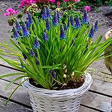Muscari, bluebell, spring bulb, bulb