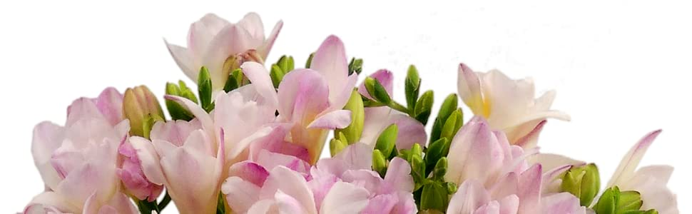Clare florist pretty 20 pink freesia fresh flowers amazon pink freesia mightylinksfo
