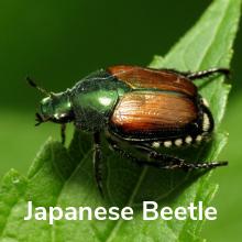 Japanese beetle killer tree shrubs lilacs bioadvanced