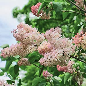 PLANTING NEW LILACS PRUNING