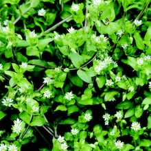 wild edibles chickweed
