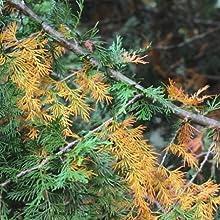 coniferas, amarillamiento, protect, protect garden