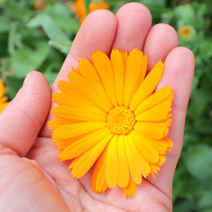 hand picked calandula flower for use in boiron homeopathic remedies
