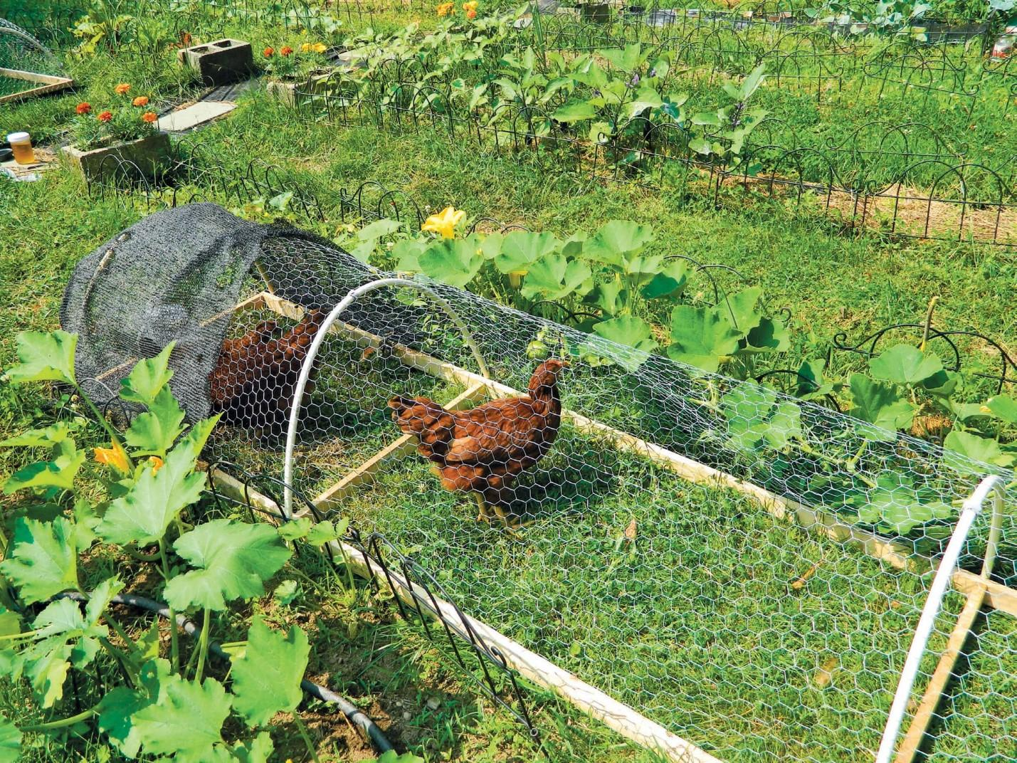 gardening with chickens plans and plants for you and your hens