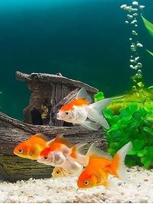 wie viel kosten goldfische