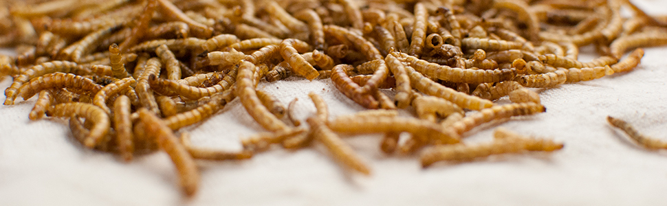 dried mealworms, mealworms