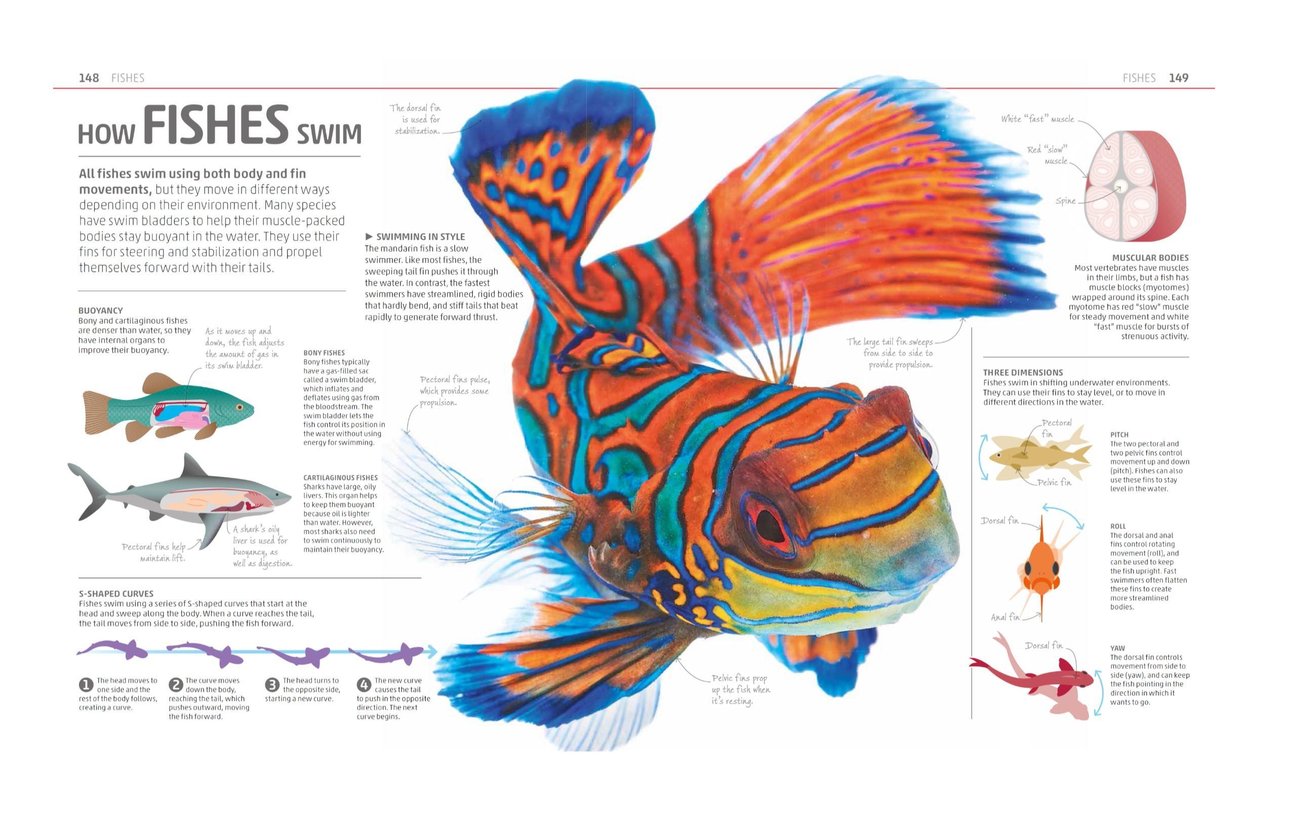 Luxury Shark Muscle Anatomy Model - Human Anatomy Images ...