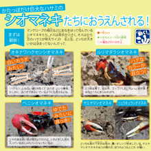 沖縄のシオマネキたち