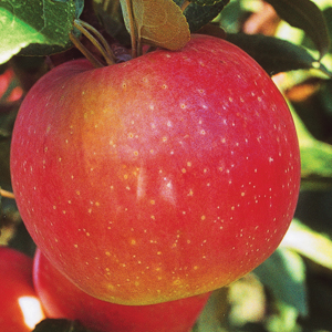 apples, pome fruits, pears, asian pears, quince, organic, holistic, biological, nutrient-dense, grow
