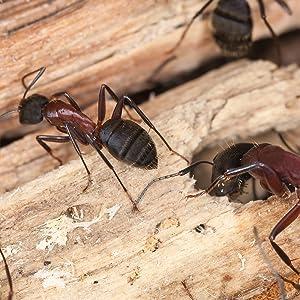 carpenter ants, termites, kill carpenter ants, terro, insect control