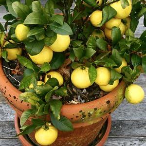 Jobe's Organic Tree Fertilizer Spikes Evergreen Shrubs Biozome Dripline