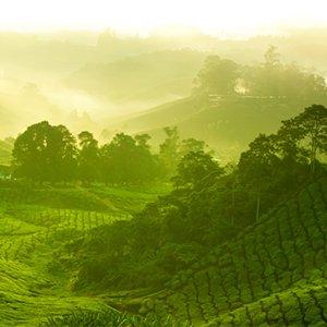 Lipton Tea: From Tea Garden to Tea Pot