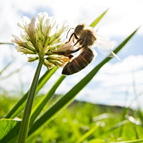 Bee on clover, raw honey, clover honey, honey bee