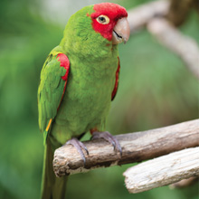 The Conure Handbook, Red-Masked Conures, Red-Masked, Conures, characteristics